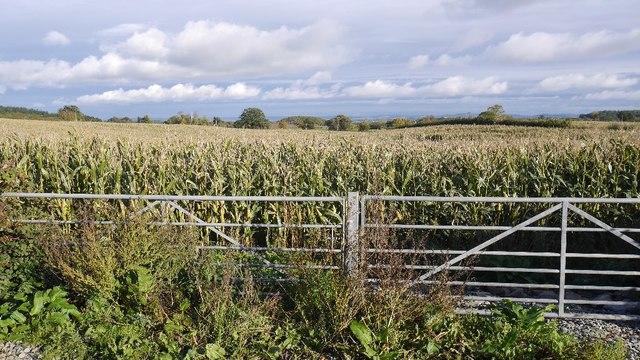 Fodder maize, Rushock