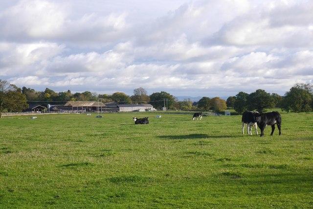 Cattle, Penrhos