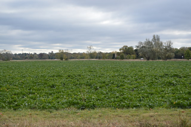 Fenland crops