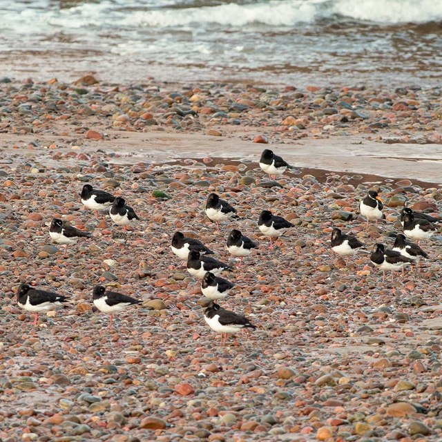 Oystercatchers Roosting on Nairn West beach