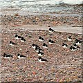 NH8857 : Oystercatchers Roosting on Nairn West beach by valenta