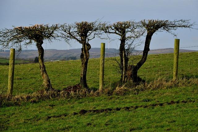 Well trimmed hedge, Carony