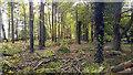 SU2885 : Belt of woodland alongside the Ridgeway near Wayland's Smithy long barrow by Phil Champion