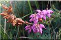 SY9787 : Erica ciliaris (Dorest Heath) by Phil Champion