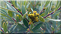 SZ0384 : Myrica gale (bog myrtle) by Phil Champion