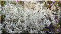SZ0385 : Reindeer lichen (Cladonia sp) at Studland Heath, Purbeck by Phil Champion