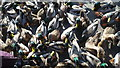 SO7680 : Duck Invasion at Arley by Fabian Musto