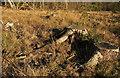 SX8684 : Tree stumps near Higher Bramble by Derek Harper