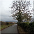 SO2319 : Dominant tree alongside and above the road to Llanbedr, Powys by Jaggery
