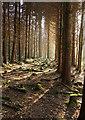 SX8783 : Coniferous forest near the Bramble Brook by Derek Harper