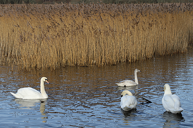 Mute and Trumpeter Swans