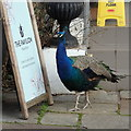 SP0485 : Peacock studying the menu, Pavilion Tea Room, Birmingham Botanical Gardens by Rudi Winter