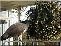 SP0485 : Peahen feeding on the floral display, Pavilion Tea Room, Birmingham Botanical Gardens by Rudi Winter