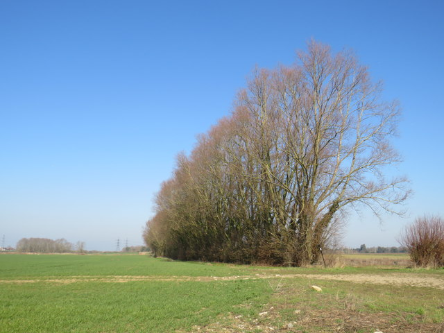 Line of trees near Higham
