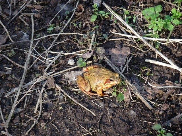 Himley Frog