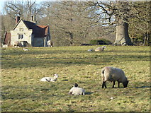 TQ5244 : Early lambs in Penshurst Park by Marathon