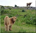 NM4045 : Highland Cattle, Kilninian by Rob Farrow