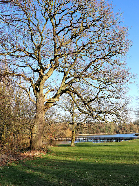 Oak tree on the golf course in Patshull Park, Staffordshire