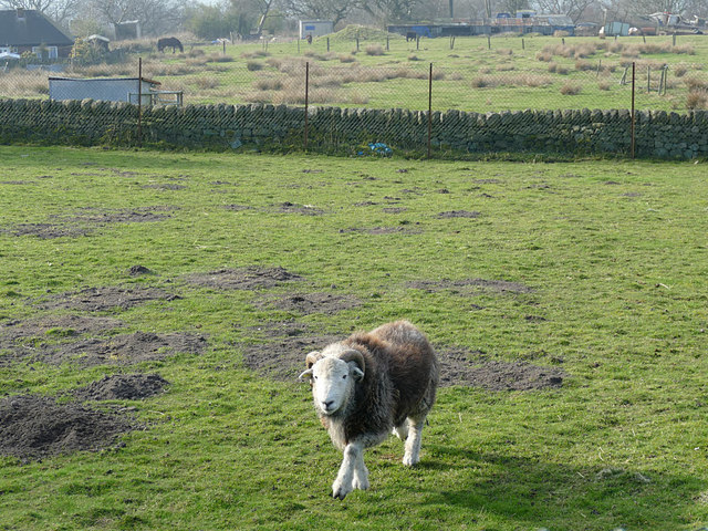 Sheep near Mow Cop