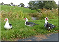 SD4759 : Muscovy ducks along the Lancaster Canal by Mat Fascione