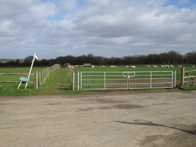 Sheep in Greater London, near Pratts Bottom