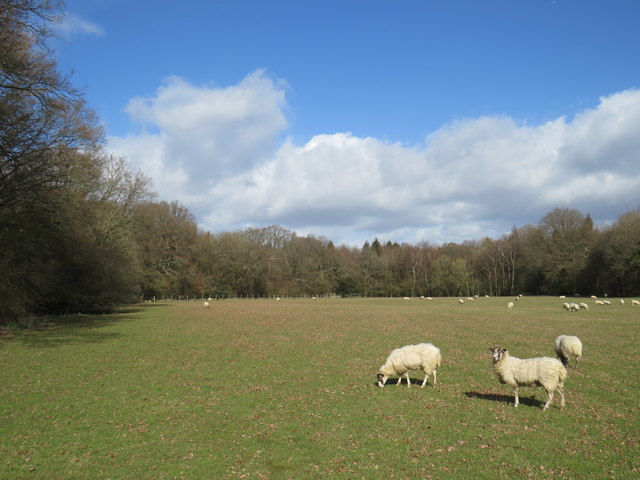 Sheep grazing near Knockholt