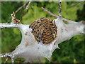 SH5729 : Community of Lackey Moth caterpillars by Eirian Evans