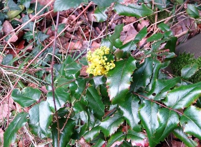 Flowering Oregon grape (Mahonia aquifolium)