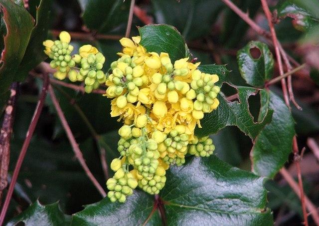 Oregon grape (Mahonia aquifolium) flower