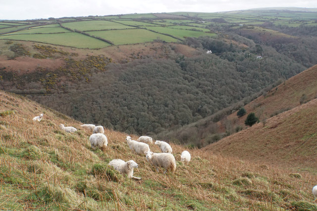 Sheep above Heddon's Mouth Cleave