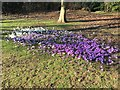 SK4733 : Crocus in West Park by David Lally