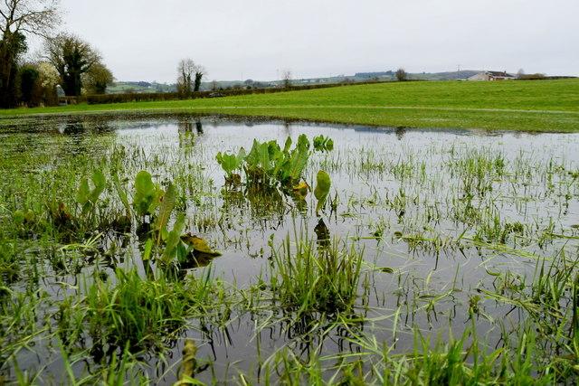 Dock plants in a flooded field, Tullylinton