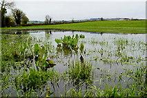 H6058 : Dock plants in a flooded field, Tullylinton by Kenneth  Allen