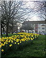 TL4656 : Fanshawe Road daffodils by John Sutton