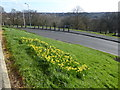 TQ2989 : Daffodils at Alexandra Palace by Marathon