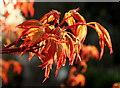 SO7119 : Acer palmatum 'Katsura' by Jonathan Billinger