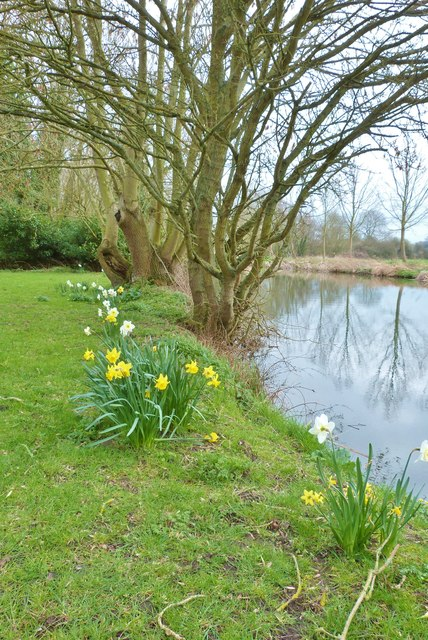 Daffodils beside the canal