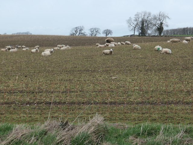 Sheep in a field west of Thirn