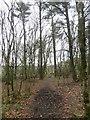 ST1009 : Muddy footpath in woods near Blackborough by David Smith