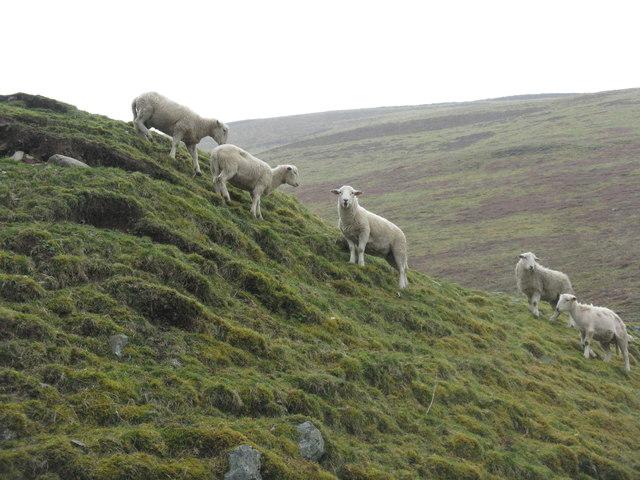 Sheep in Tweeddale