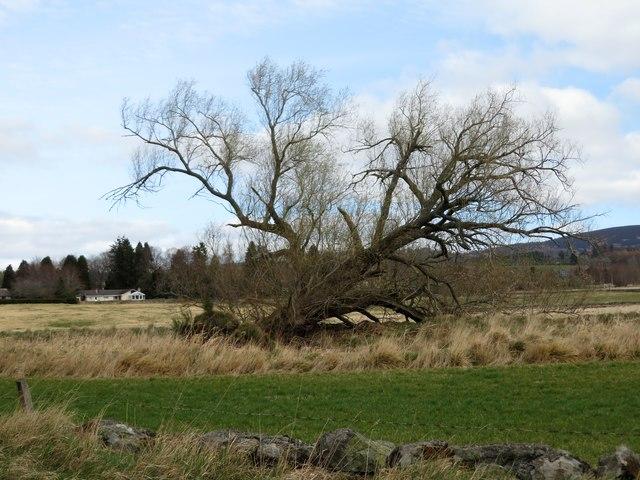 Wind-felled Willow by Beltie Burn