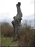 NO4202 : Old tree by Bill Kasman