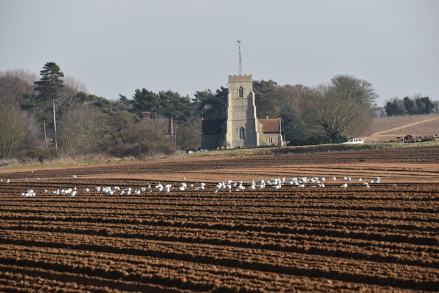 Seagulls on a ploughed field at Sudbourne