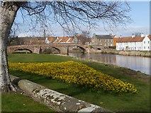 NT5173 : Daffodils by the Nungate Bridge in Haddington by Jennifer Petrie