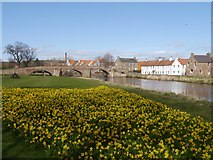 NT5173 : A Host of Golden Daffodils in Haddington by Jennifer Petrie