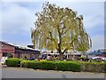 SJ8744 : Willow tree in a pub garden by Graham Hogg