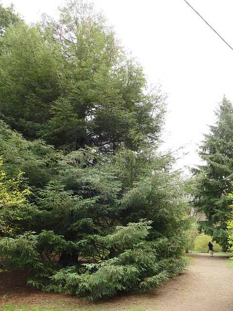 Pine trees in Golden Acre Park