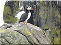 NT6698 : Two Puffins by Oliver Dixon