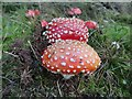 SO1053 : Couple of Fly Agaric by Bill Nicholls