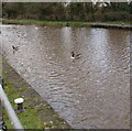 ST2897 : Waterfowl on the canal near Five Locks Moorings, Cwmbran by Jaggery